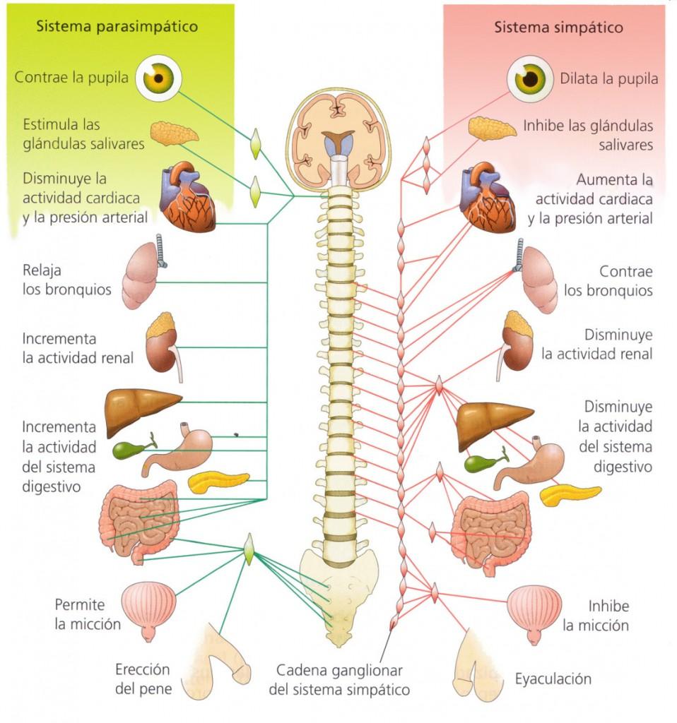 ansiedad-sistema nervioso-relajarse