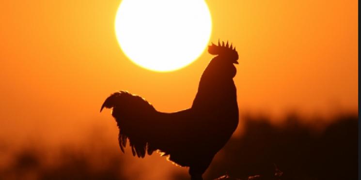 cuento gallo