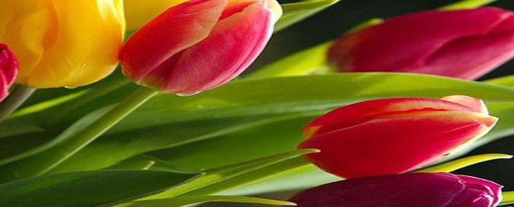 parkinson tulipanes